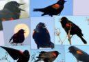Blackbird Poem by Wallace Stevens