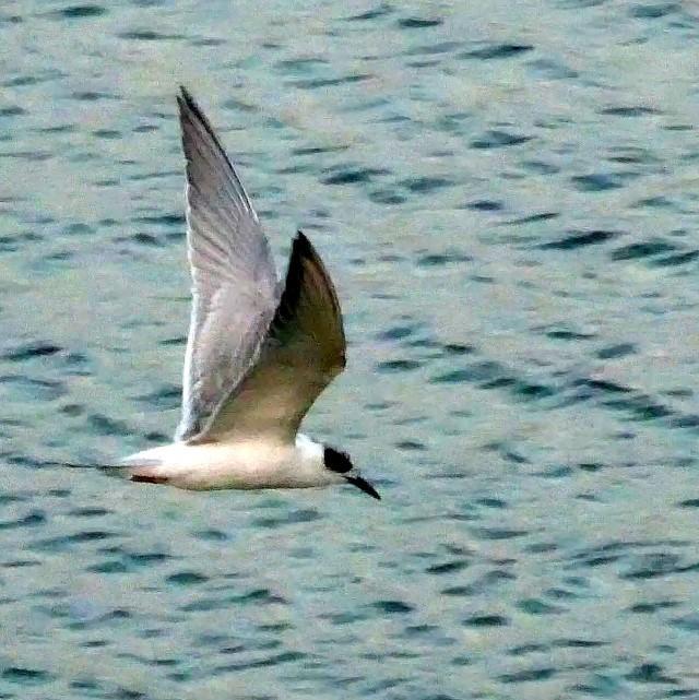 Finally, Forster's Tern