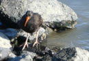 Black Oystercatcher Getting Breakfast