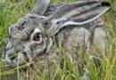 Jackrabbit in the Owl Preserve
