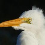 Great Egret: A Portrait