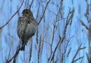 Savannah Sparrow Preening