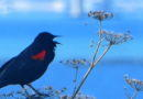 Red-winged Blackbirds: Finally Here?