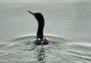 Pelagic Cormorant Bathing