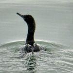 Pelagic Cormorant Bathing