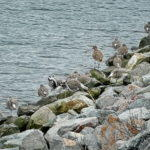 A Company of Willets
