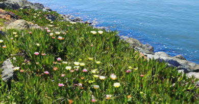 Ice Plant in Bloom