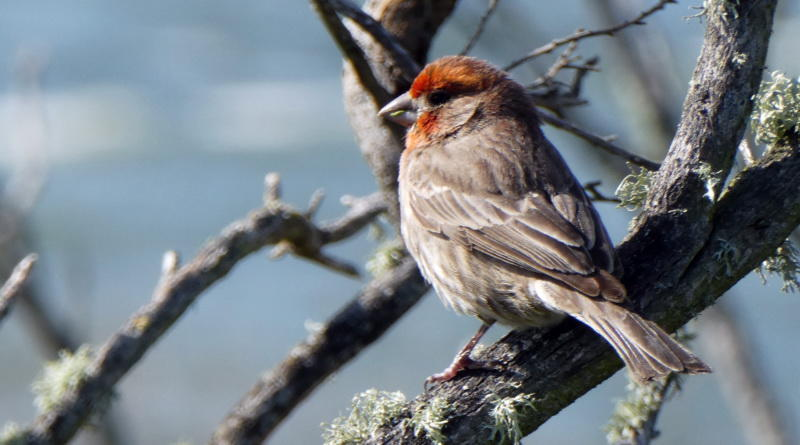 A Few Seconds of House Finch
