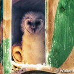 The Barn Owl is For Real
