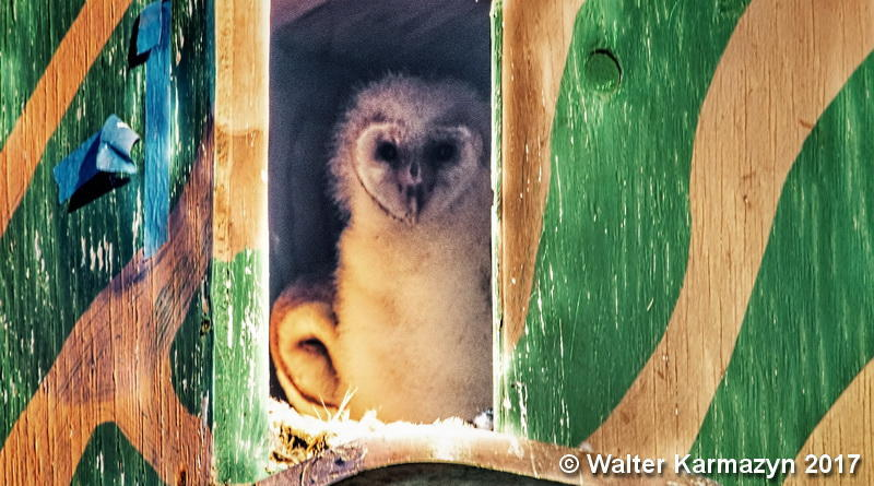 6e47be8db34 Barn Owl chick in a nest box in the park, with mom laying low in background