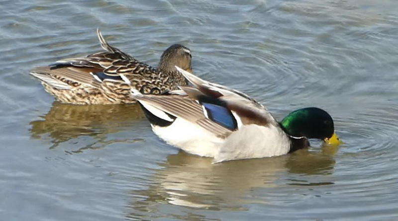 Mallards Showing Their Blue Patches