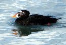 Surf Scoters Updated