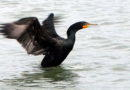Cormorant Waking Up