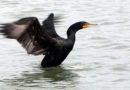Cormorant Waking Up