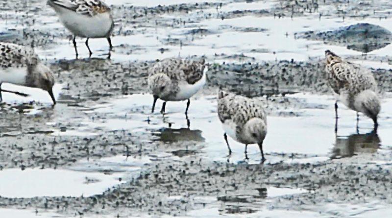 Sanderlings on the Mud