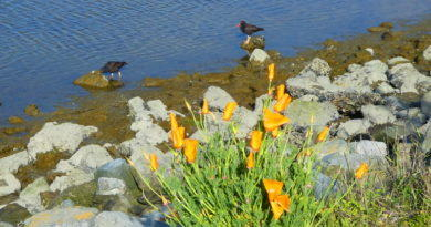 Oystercatchers and Poppies: a Flashback
