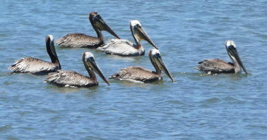 A Parley of Pelicans