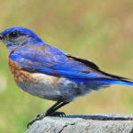 A Western Bluebird in the Park