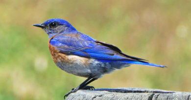A Western Bluebird in the Park