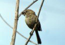 Bushtit with Beak Full