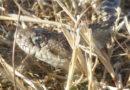 Gopher Snake on Kite Lawn