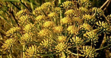 Fennel Fever
