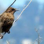 That Other Blackbird