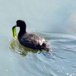 Diet for a Coot