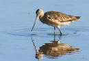 Marbled Godwits in August