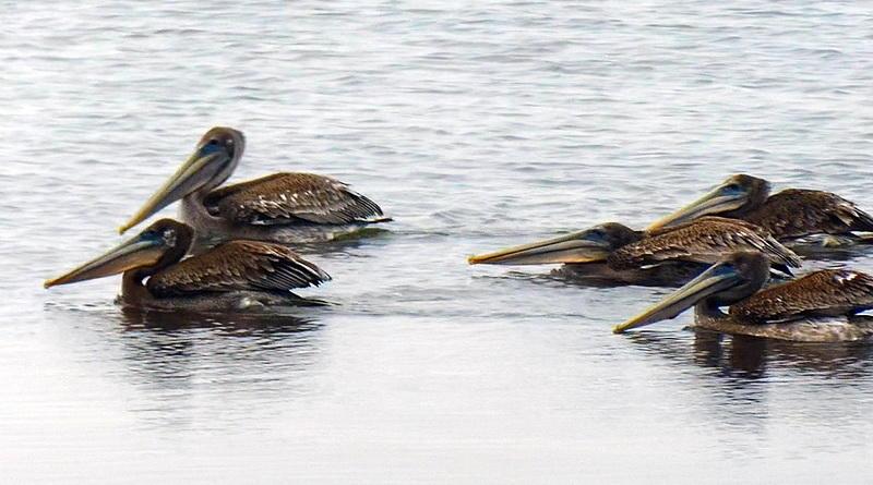 A Hundred Pelicans