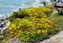 Now Blooming: Grindelia