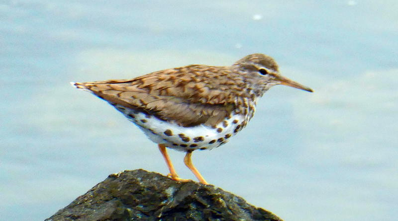 A Spotted Sandpiper Pair
