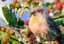 Finches in Blackberry