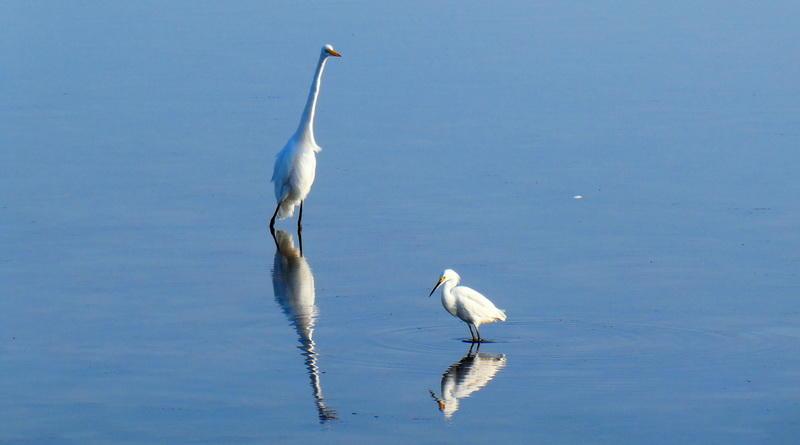 An Egret Duet
