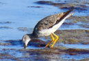 Yellowlegs in August