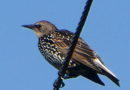 Starlings by the Dozen