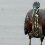 The Dark Heron Reappears