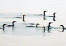 A Gulp of Cormorants