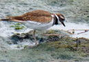 A Killdeer Visit