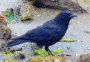 Crows are Shorebirds Too