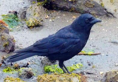 Crows are Shorebirds Too