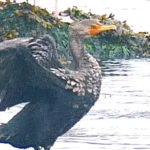 Cold Day Cormorant