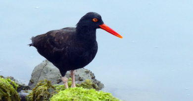 Sound of the Oystercatcher