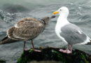 A Gull Encounter