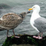A Gull Encounter