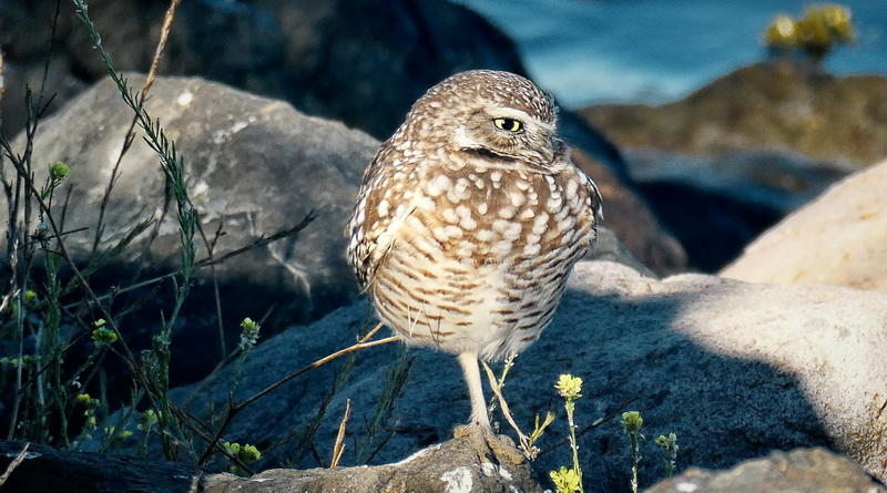 New Owl or Same?