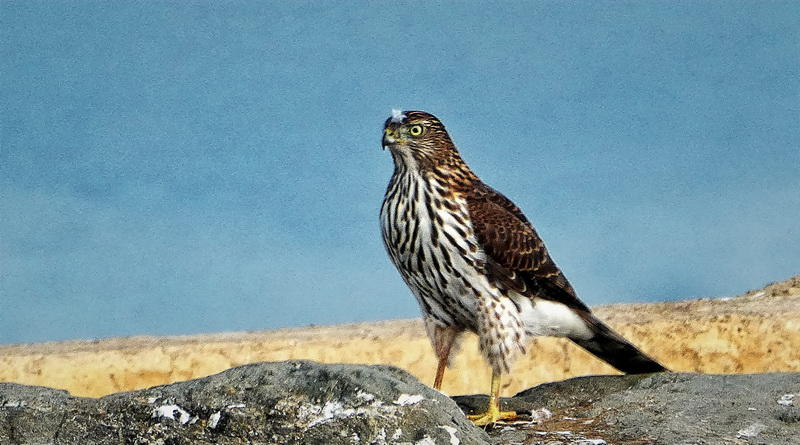 Not a Burrowing Owl