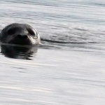 Harbor Seal in Shallow Waters