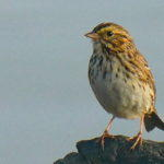 The Uncommon Common Sparrow