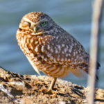 A New Burrowing Owl